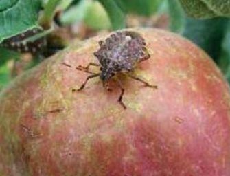 Il caldo moltiplica le cimici, in Emilia il 40% dei danni sulla frutta