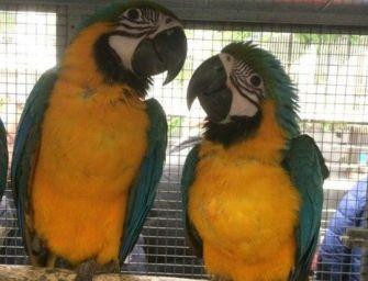 Sequestrati 71 uccelli, 7 denunce e 1 arresto alla Fiera Ornitologica di Reggio