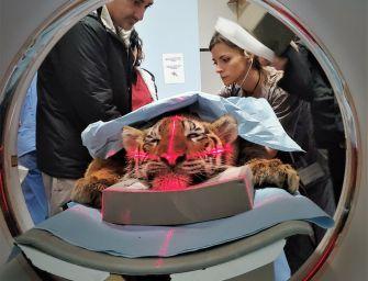 Ha problemi di masticazione, tigre operata a Parma