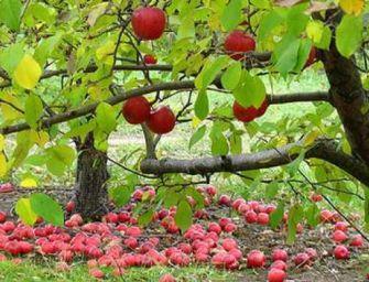 Frutteti, 2,7mln contro la cimice asiatica