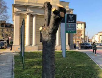 'Verde mutilato', il ciliegio di Porta San Pietro