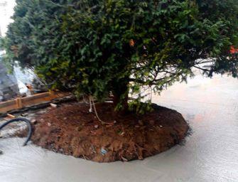 Reggio. I tassi di piazza del Cristo imprigionati nel cemento. Post per 'sindaco e assessore al verde'