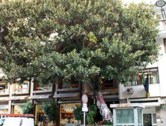 A Reggio suggerisco un Ficus macrophylla per Falcone e Borsellino