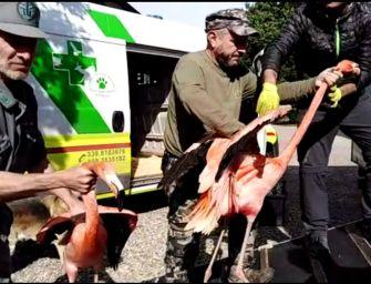 Modena, sequestrati 20 fenicotteri. Saranno liberati alla Saline di Cervia