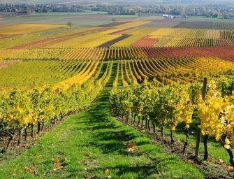 Cresce il vigneto in Emilia-Romagna