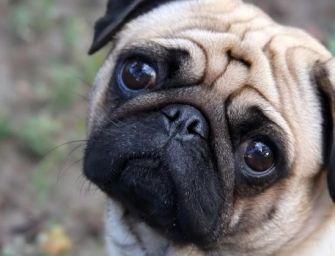 Parma. Dog sitter dimentica il cane in auto: muore. Pm dispone l'autopsia