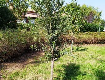 Reggio. Un nuovo olivo al parco Langer