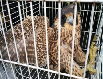Falco pellegrino salvato in un cortile