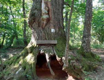 A Toano il monumento è un albero: il Castagno del Partigiano