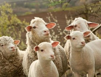 Brescello. Focolaio brucellosi: sequestrate 126 pecore