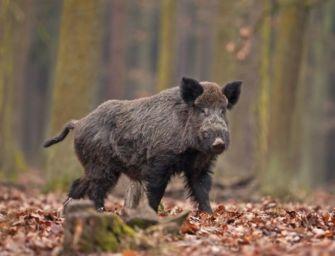 Dal governo via libera allo spostamento dei cacciatori tra comuni e regioni per il controllo dei cinghiali