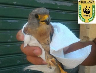 Falco grillaio, 100 nidi sicuri in Pianura padana