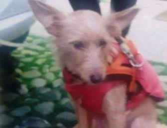 Modena. Chiede l'elemosina con una cagnolina, animale sequestrato