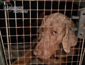 Reggio. Sigilli ad allevamento abusivo di cani