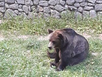 Modena, dal Pettirosso un progetto per il recupero dell'orso bruno