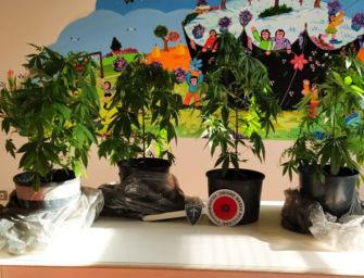 Reggiolo. Sfrutta l'appartamento in ristrutturazione per coltivare marijuana: denunciato