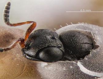 Lotta alla cimice asiatica, pronti 200 nuovi lanci di 22mila vespe samurai nei corridoi verdi dell'Emilia-Romagna