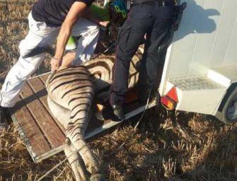 Bibbiano, finita la fuga per la libertà della zebra Achille. L'animale è morto