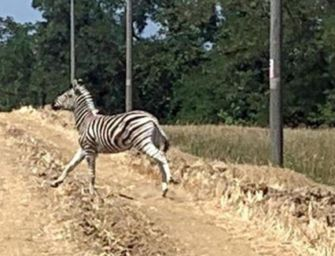 Zebra Achille, doppio esposto animalista