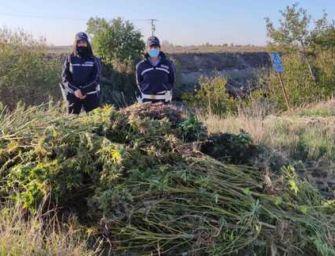 Sequestrate 300 piante di cannabis nelle campagne di San Pietro in Casale: due persone in arresto