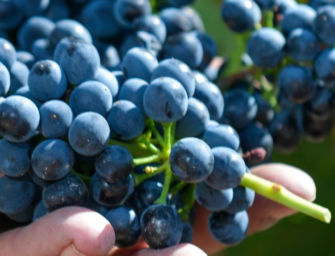 Vendemmia 2021, nel Reggiano uve in lieve calo